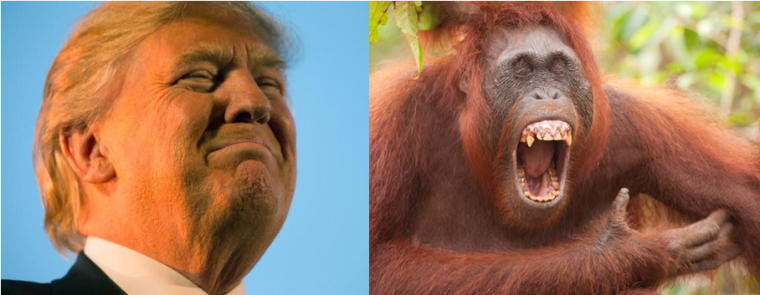 orangutan and trump